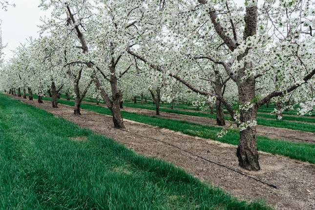 jay-mantri-cerezos-florecen